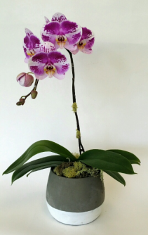 Funky Purple Potted orchid plant