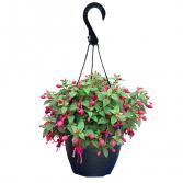 Fuschia Hanging Basket