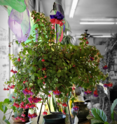 Fuschia  Hanging Basket **Colors May Vary**