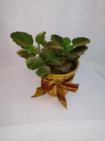 Fuzzy Leaf Kalanchoe Potted Plant