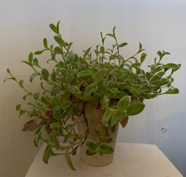 Fuzzy wandering jew Plant