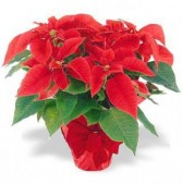 Red Poinsetta with foil and bow.