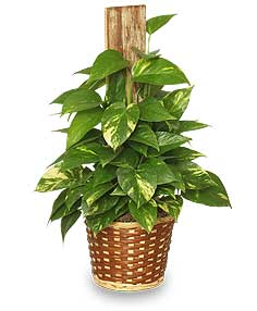 GOLDEN POTHOS PLANT  Scindaspus aureus  in Bronxville, NY | MRS. MORGAN'S FLOWER SHOP