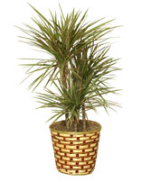 STANDARD RED MARGINED DRACAENA PLANT plant