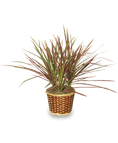RED MARGINED DRACAENA   Dracaena marginata  in Ozone Park, NY | Heavenly Florist