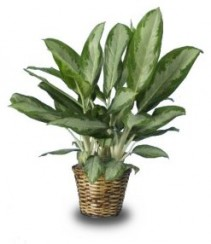 CHINESE EVERGREEN HOUSE PLANT  Aglaonema vittata