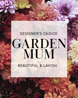 Garden Mum Plant Plant