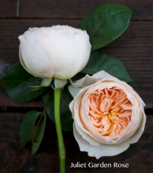 Garden Roses   in Oakville, ON   ANN'S FLOWER BOUTIQUE-Wedding & Event Florist
