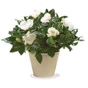 Gardenia  Flowering Plant in Whitesboro, NY | KOWALSKI FLOWERS INC.