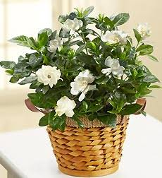Gardenia Plant  in New Port Richey, FL | FLOWERS TODAY FLORIST