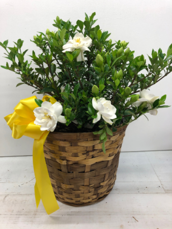 Gardenia Southern Living Jubilation  Plant