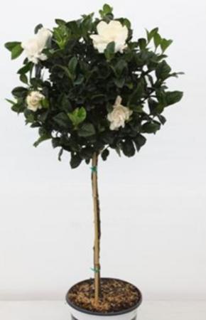 GARDENIA  TOPIARY TREE BLOOMING PLANT