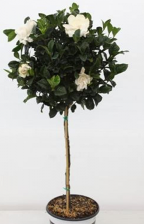 GARDENIA  TOPIARY TREE BLOOMING PLANT