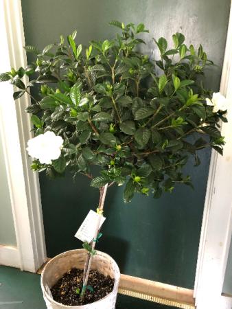 Gardenia Tree plant
