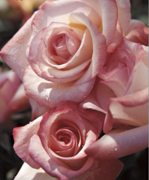 Gemini™ 5 gallon - Hybrid Tea