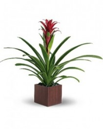 Geno's Bromeliad Beauty Blooming plant