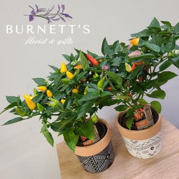 Geometric Pepper  Plant