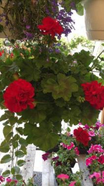 10 Inch Geranium Hanging Basket
