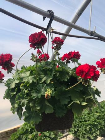 Geranium Hanging Basket Annual flowering plants