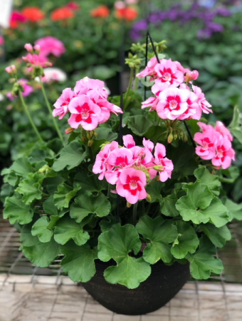 Geranium Hanging Basket- Assorted Colors Greenhouse