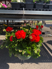 Geranium Hanging Basket Outdoor