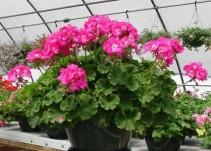 Geranium Hanging Basket Pink/Lavender Hanging Basket