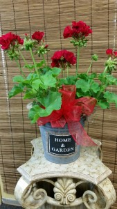 Geranium in galvinized pot