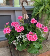 Geranium Love Hanging Basket