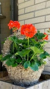 Geranium Moss Pot local delivery only