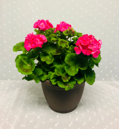 Geranium Patio Planter Hanging Basket