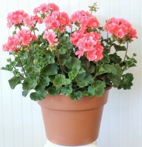 Geranium Patio Planter   SOLD OUT Colors Vary