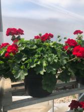 Geranium Patio Pot Annual flowering plants