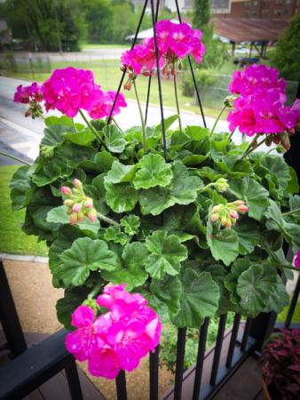 Geranium Hanging Basket Plant