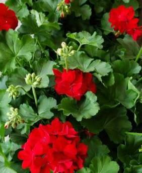Geranium Plant Outdoor plant