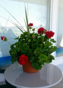Geranium plant with spike Blooming annual plant