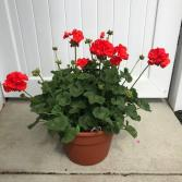 "Geranium Planter 12"" Potted Annual"