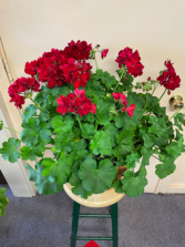 Geranium porch pot Plant