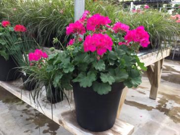Plant - Geranium - potted Plant- outdoor sun