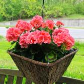 Geranium Rustic Hanging Planter