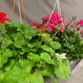 Geraniums Hanging Basket