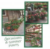 Geraniums & Summer plants