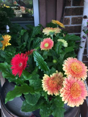 Gerbera Daisy plants Assorted colors