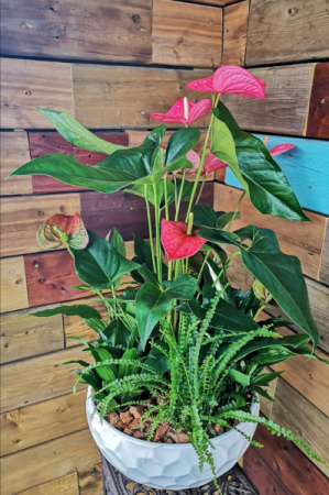 Giant Anthurium planter 30+ inch tall Anturium  in Windsor, ON | K. MICHAEL'S FLOWERS & GIFTS