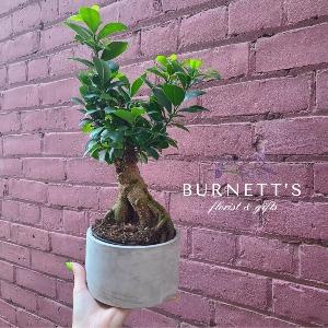 Ginseng Bonsai Plant in Kelowna, BC | Burnett's Florist