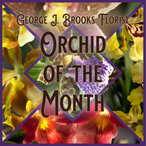 GJB ORCHID OF THE MONTH  in Brattleboro, VT | George J. Brooks Florist LLC