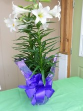 Glorious Easter Lily Plant