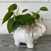 Intelligent Elephant Variegated Pothos Plant