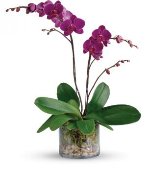 Glorious Gratitude Orchid (Colors Vary) All around in Winnipeg, MB   KINGS FLORIST LTD