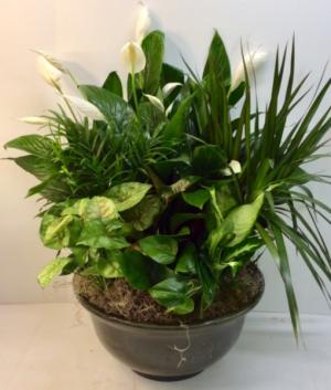 Glorious Green Plants  in Troy, MI | DELLA'S MAPLE LANE FLORIST