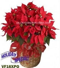 Glorious Red Poinsettia Christmas Plants